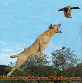 Chasse au canard avec un chien