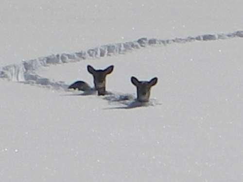 Les Saisons - Page 2 Chevreuil-dans-la-neige