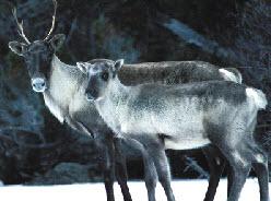 Aventure aux caribous