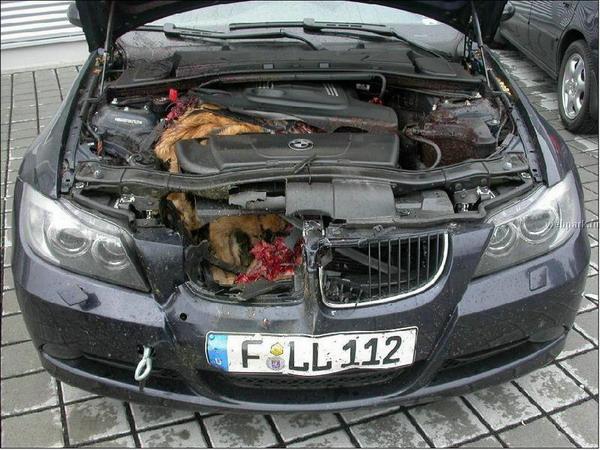 Chevreuil frappé BMW Z4, vue avant