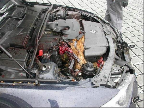 Chevreuil happé, BMW Z4, vue de côté