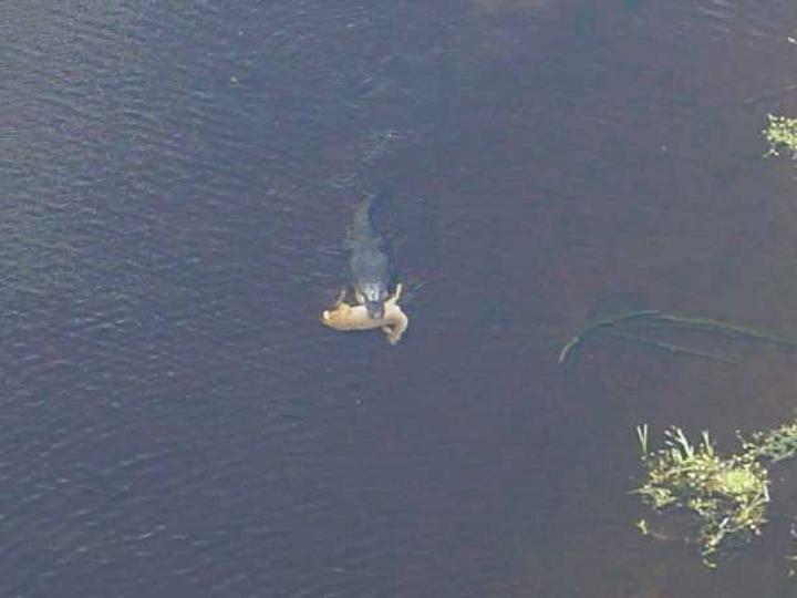 Alligator géant avec un chevreuil entier