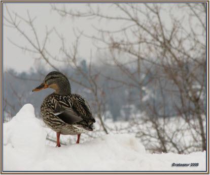 photo de canard mallard
