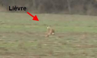 Vidéo de chasse au lièvre