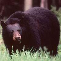 chasse automnale de l'ours noir