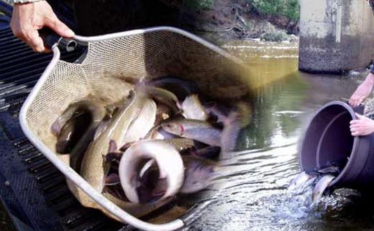 Ensemencement de truite