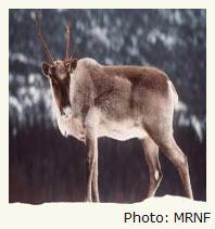Déclin des caribous