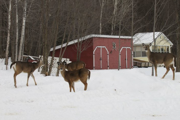 Chevreuil dans le haut outaouais